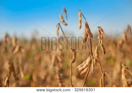 Ripe Soybean Pods On The Stalk In A Soybean Field On A Sunny Autumn Day. Space For Text. Selective F