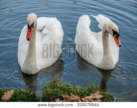 Two White Swans Heart Water Scene Photography