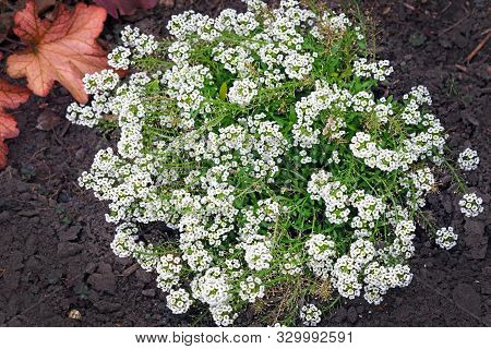 Blooming Carpet Of Sweet Alyssum Also Alison, Lobularia Maritima. Beautiful Little White Flowers Nea