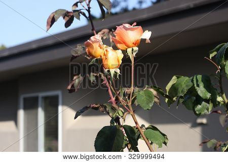 This Is An Image Taken In October Of Roses Growing In Carmel, California.