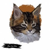 Maine coon kitten watercolor portrait of small cat digital art illustration. Realistic drawing of kitty with long and furry coat and ears. Maine shag face in closeup. American longhair breed of feline poster