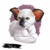 Oriental shorthair kitten with large ears digital art illustration. Watercolor portrait of Siamese kitty. Feline breed, domesticated pe drawing in realistic manner. Face and paws of white catty poster