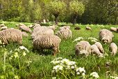 Country walk in spring and meadows with flowering Gravelroot and flock of sheep poster