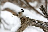 photo of a cute little black-capped chickadee perched on a branch during a snowy winter day. poster