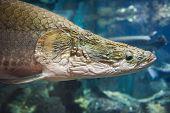 Arapaima fish - Pirarucu Arapaima gigas one largest freshwater fish and river lakes in Brazil / snake head fish poster