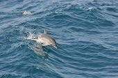 A very young common dolphin calf showing off it's new jumping skills in the waves poster