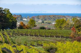 Niagara Region Vineyard Landscape And Distant Toronto Skyline