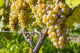 Close-up Of Ripen Riesling White Wine Grapes Ready For Harvesting