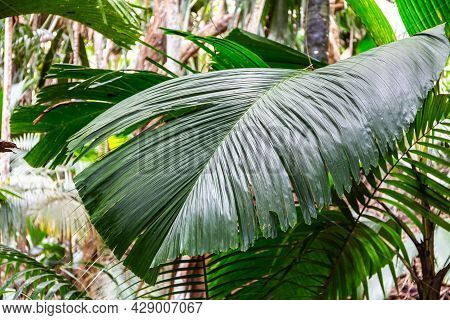Latannyen Lat (verschaffeltia Splendida, Stilt Palm) Leaf, Endemic Seychelles Species, In Vallee De