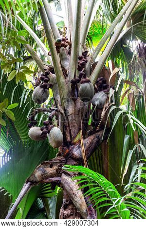 Coco De Mer (lodoicea Maldivica) Female Fruits Clusters With Largest Nuts In The World Inside, Endem