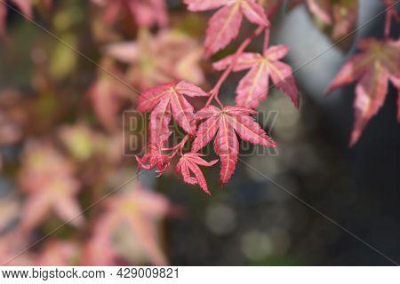 Japanese Maple Shin-deshojo - Latin Name - Acer Palmatum Shin-deshojo