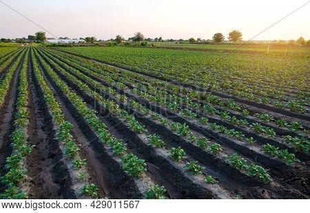 Potato Plantation On The Farm In The Early Morning Sun. Organic Farming. Harvesting The First Potato