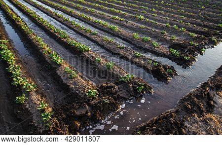 Abundant Watering The Potato Plantation Through Irrigation Canals. Surface Irrigation Of Crops. Euro