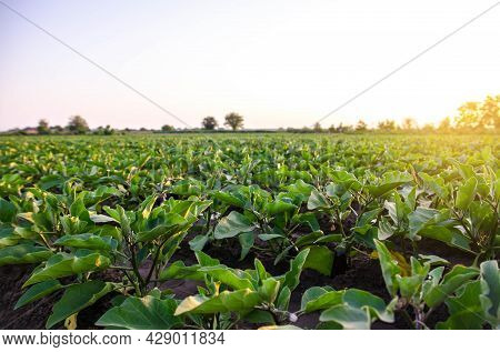 Eggplant Plantation Field. Agriculture, Farm. Growing On Open Ground. Growing Organic Vegetables On