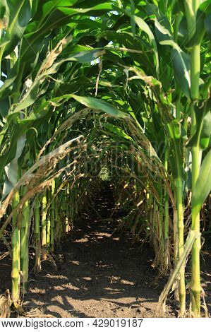 Corn Greens With Cobs In Rows In The Form Of An Arch
