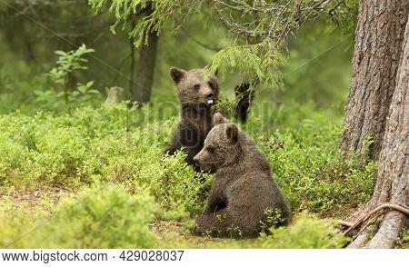 Close Up Of Two Playful European Brown Bear (ursus Arctos Arctos) Cubs In The Woods Of Finland.