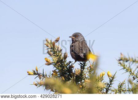 Close Up Of A Perching Dartford Warbler, Uk.