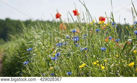 Beautiful Blue Wildflowers. Decorate The Side Of The Field Road. Shallow Focus, Bokeh. Wildflowers,