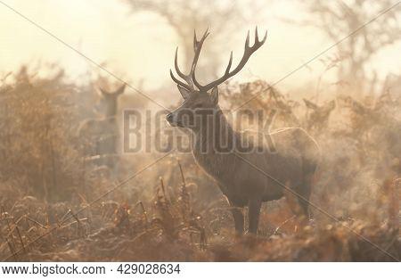 Red Deer (cervus Elaphus) On A Misty Autumn Morning, Uk.