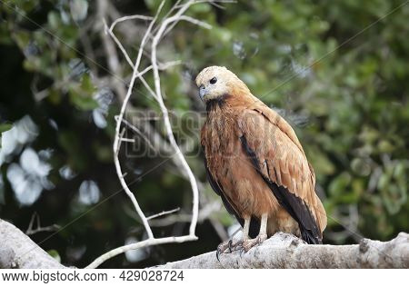 Close Up Of A Black-collared Hawk Perched On A Tree Branch, Pantanal, Brazil.