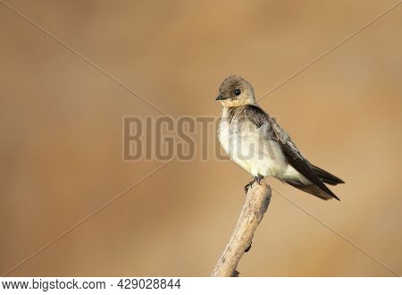 Close-up Of A Southern Rough-winged Swallow (stelgidopteryx Ruficollis) Perched On A Tree Branch, Pa