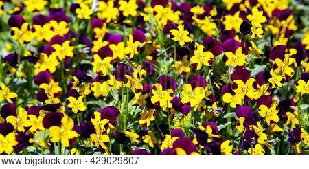 Plantation Of Yellow And Lilac Pansy Viola Flowers In Garden  Close Up. Summer Landscaping Concept.