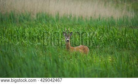Male Roe Deer (capreolus Capreolus) Walks On A Green Meadow. Male Deer Hidden In Tall Green Grass. A