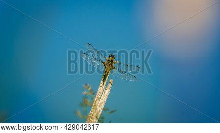 Scarce Chaser (libellula Fulva). Dragonfly Basking In The Sun Near Water. Macro Photo, Close-up