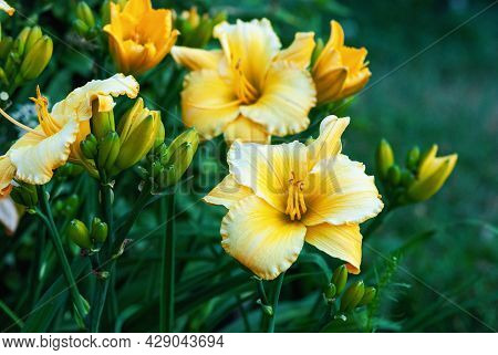 Daylily Mary's Gold - Yellow Hemerocallis Plant Blooming In The Garden