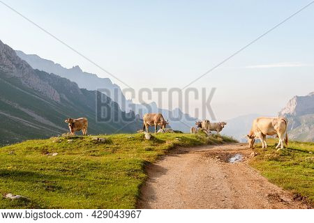 Herd Of Cows Grazing Peacefully Near A High Mountain Road In Picos De Europa At Sunset.