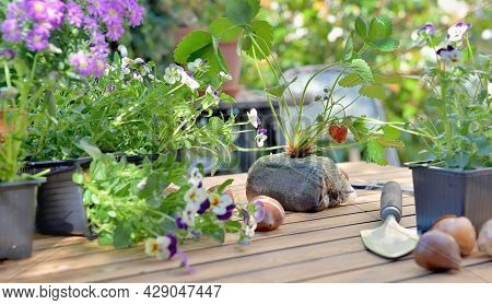 Flowers,  Strawberry And Bulbs On A Garden Table Gardening At Home