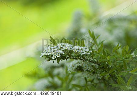 Spiraea. Close-up Of Garden Flowers Spiraea Flower. White Spiraea Flower, Or Gray. Spiraea Flower Ba