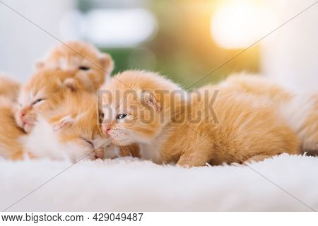 Newborn Baby Red Cat Sleeping On Funny Pose. Group Of Small Cute Ginger Kitten. Domestic Animal. Sle