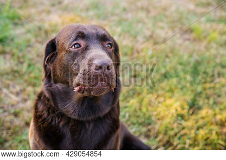 Portrait Of A Brown Labrador. A Dog With A Sad Expression On His Face. Loyalty And Loyalty To The Ow