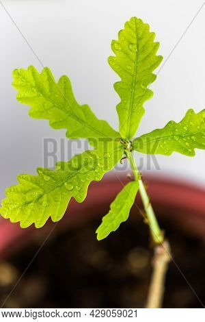 A Young Oak Tree In A Pot On A Light Background. Juicy Green Leaves In Drops Of Water. Acorn Grown O