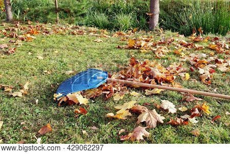 Garden Leaf Rake Is On Grass Among Maple Leaves. Sunny Bright Day For Cleaning Lawn