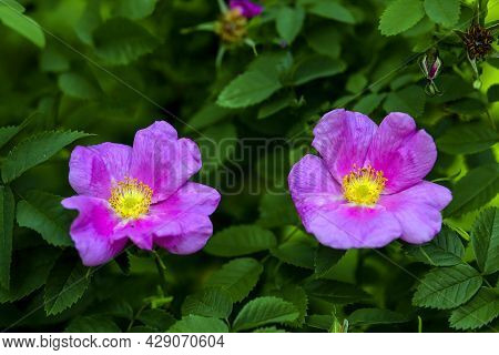 Two Colorful Pink Open Flowers Of Shrub Rose (rosa) In Late Spring
