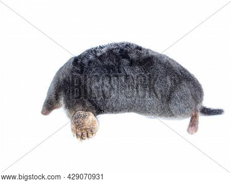 Animal Earthen Mole On A White Background. Animal Talpidae. Dig An Underground Passage. Family Of Ma