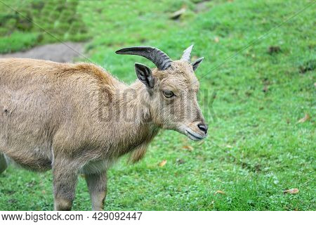A Young Female Capricorn When Eating At A Green Medow