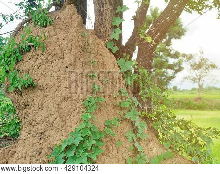 A Large Termite Mound Near A Large Tree.
