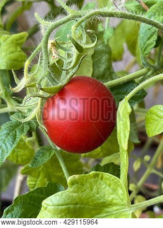 Beautiful Ripe Heirloom Tomatoes Grown In A Greenhouse. Gardening Tomato