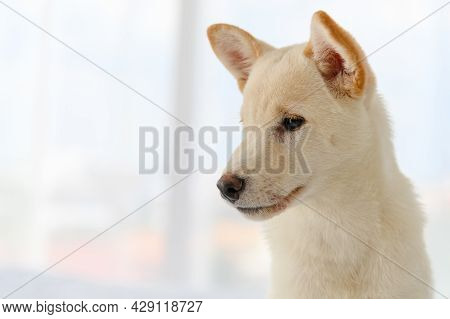White Shiba Inu Japanese Pedigree Adorable Puppy Staying On Bed In Bedroom. Pet Lover Concept. Anima