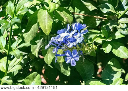 Blue Blooming Phlox On A Sunny Day.