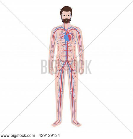 Arterial And Venous Vessels, Circulatory System In Human Body. Blood And Heart In Man Silhouette. Bl