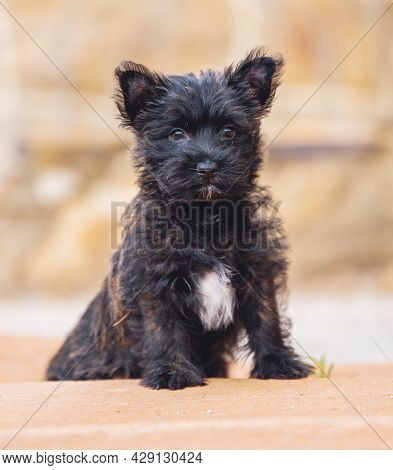 Natural Portrait Of A Cairn Terrier Puppy