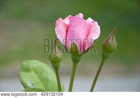 Summer Blooming Flower. Soft Flower Petals. Rose Garden In Spring. Light Pink Rose Bush. Beautiful F