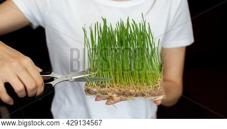 A Woman Cuts Off A Sprouted Micro Green Wheat With Scissors. Sprouted Wheat Grains, Micro-green In T
