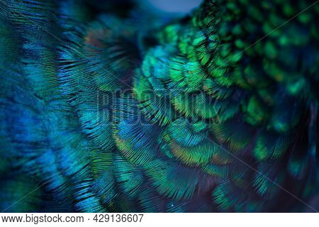 Close Up Of The  Peacock Feathers .macro Blue Feather, Feather, Bird, Animal. Macro Photograph.