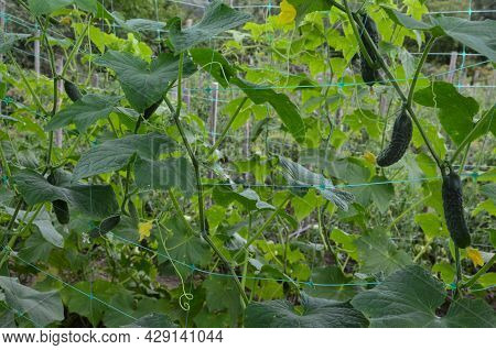 Plant Cucumber On The Trellis.cucumbers Grow On A Bed.