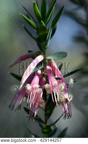 Australian Native Pink Five-corners Flowers, Styphelia Triflora, Family Ericaceae, Growing In Sydney
